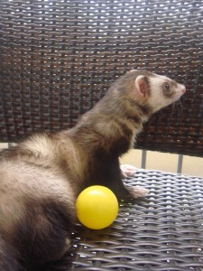 CRUZer Bruiser! Ferrets  are tough to photograph but I kept trying.  Enjoying some porch time with a favorite yellow ball in Tampa.